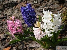 wiosenne kwiaty (4).jpeg