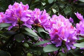 Rododendrony z ogrodu botanicznego w Zagwiździu (2).jpeg