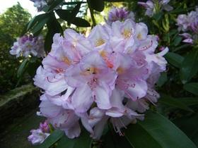 Rododendrony z ogrodu botanicznego w Zagwiździu (13).jpeg