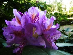 Rododendrony z ogrodu botanicznego w Zagwiździu (15).jpeg