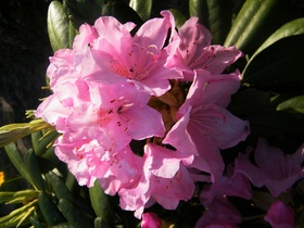 Rododendrony z ogrodu botanicznego w Zagwiździu (16).jpeg