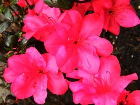 Rododendrony z ogrodu botanicznego w Zagwiździu (17).jpeg