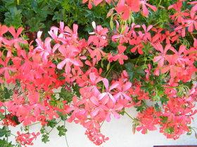 Kwiaty Zagwiździa (9).jpeg